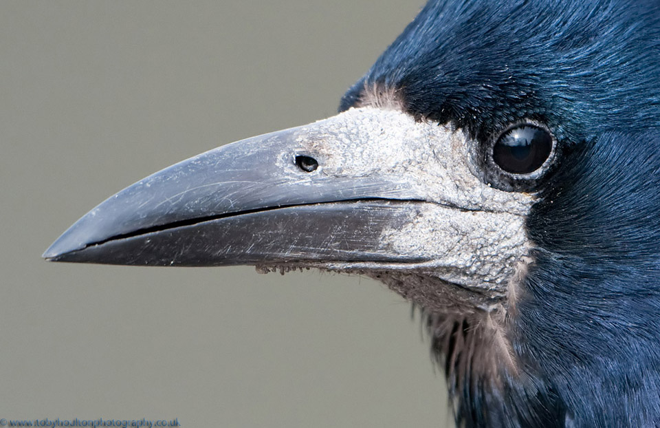 Close up of a rook head and beak