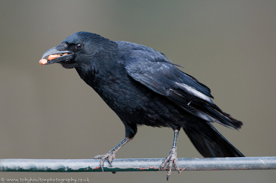 crow eating peanuts