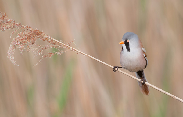 Bearded Tit perched on reed stem