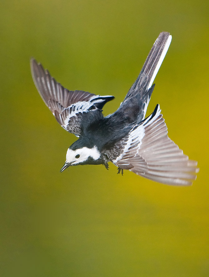 Diving Pied Wagtail