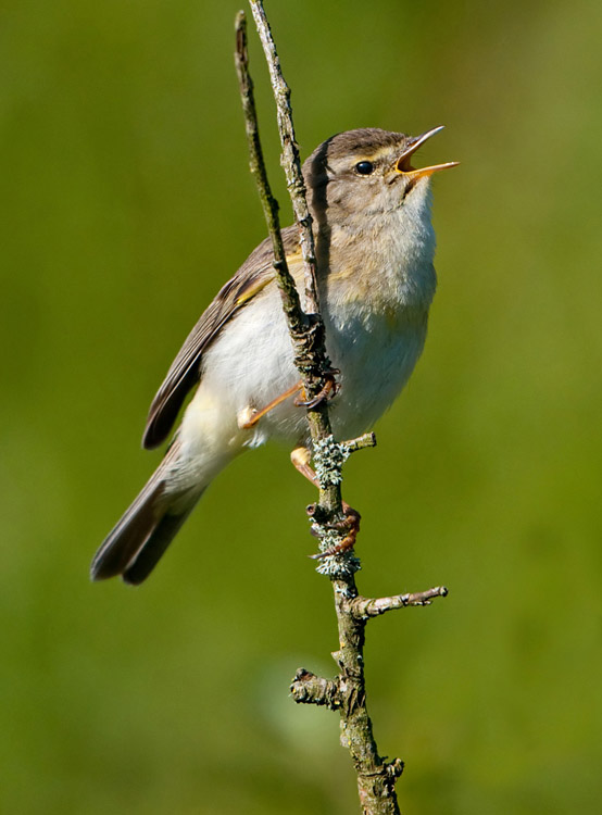 Willow Warbler in full song