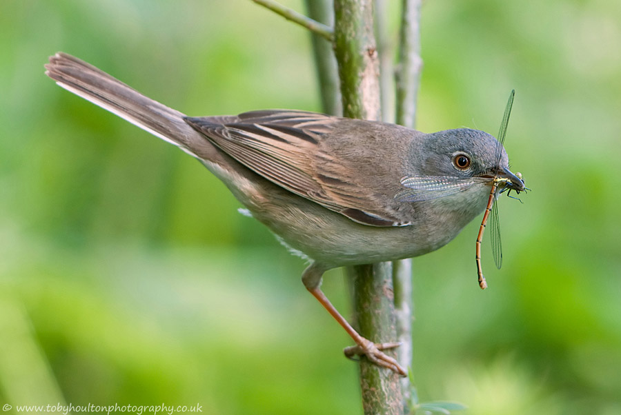 Whitethroat with Large red Damselfly