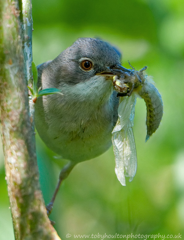 Whitethroat with freshly hatched dragonfly