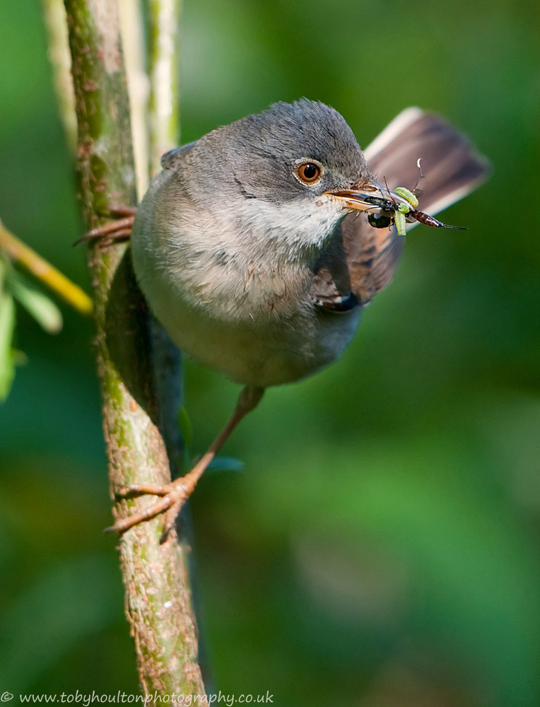 Whitethroat with a beak full of food for young