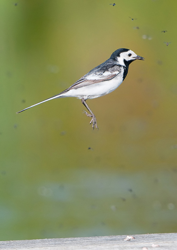 Jumping Pied Wagtail
