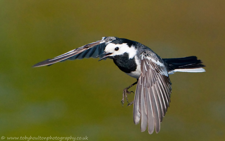 Pied Wagtail in flight