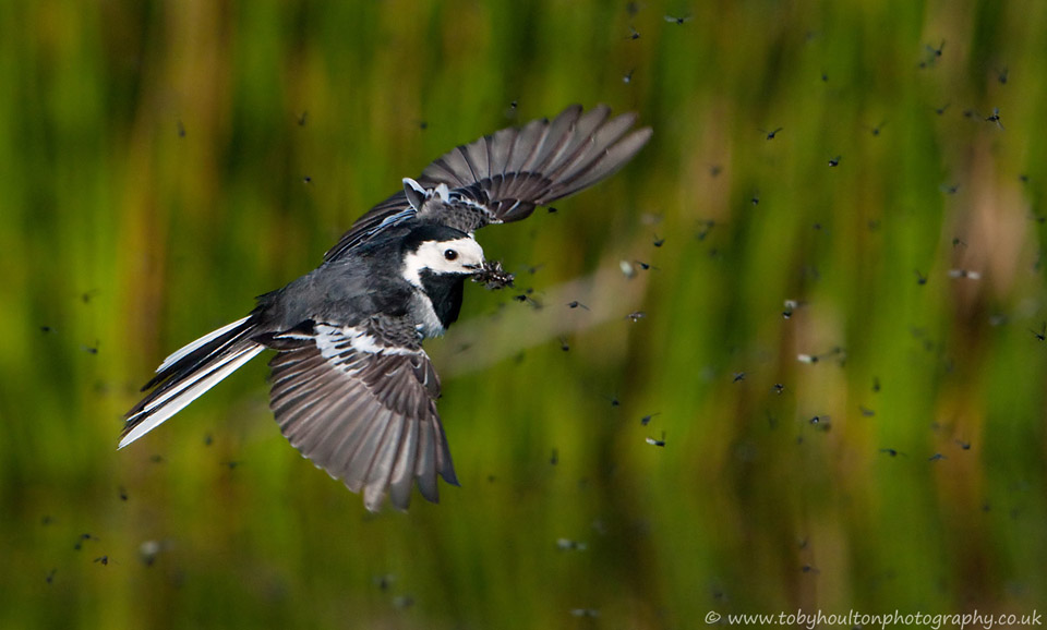 Pied Wagtail with beak full, flies through the clouds of insects