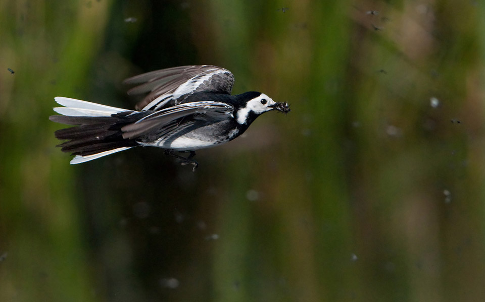 Pied Wagtail catching flies mid air