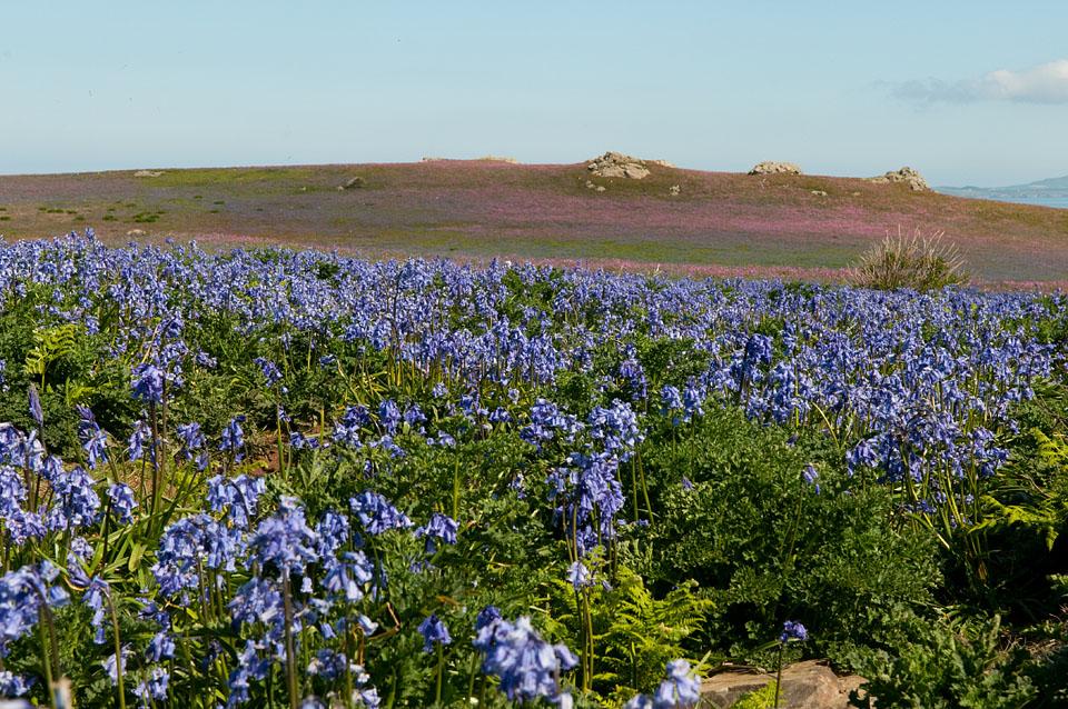 Bluebells on Skomer Island