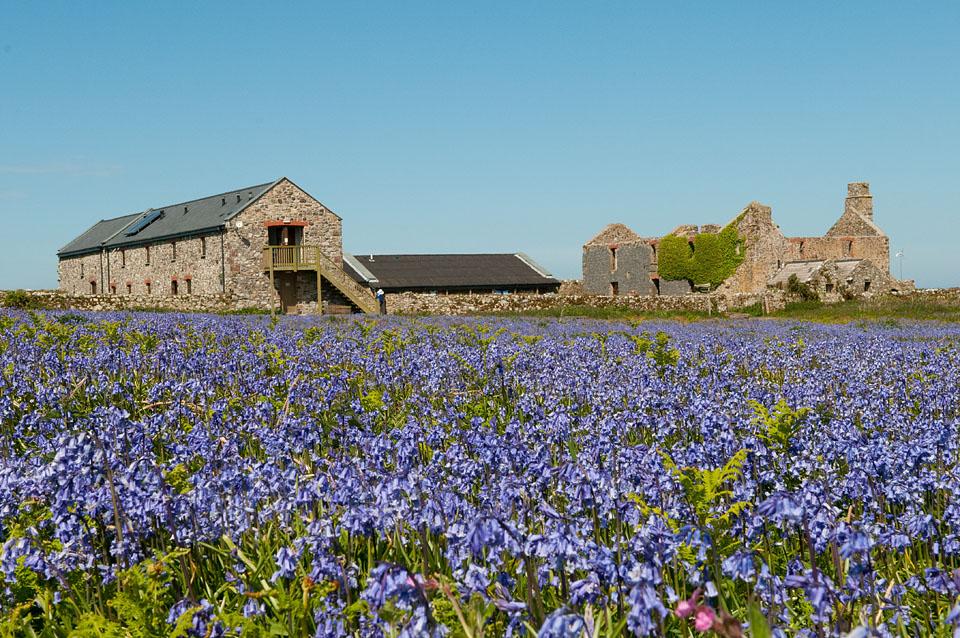 Bluebells surround the old farmhouse, Skomer