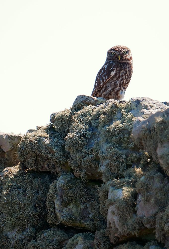 Little Owl on stone wall, Skomer Island