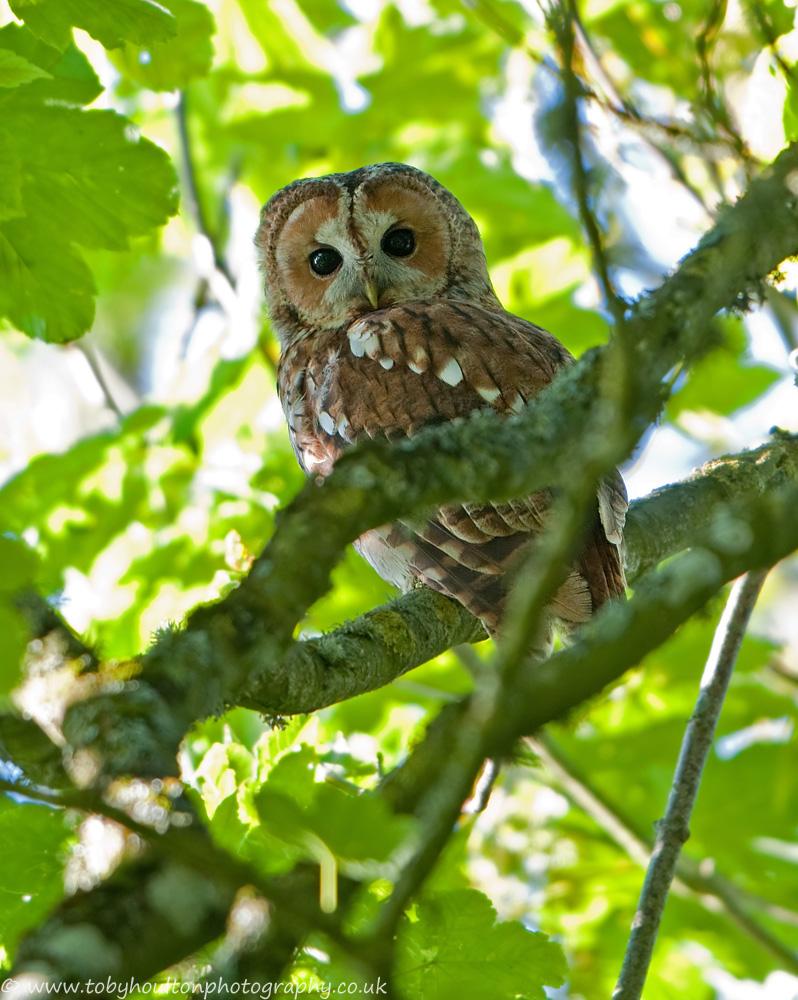 Tawny Owl amongst the foliage