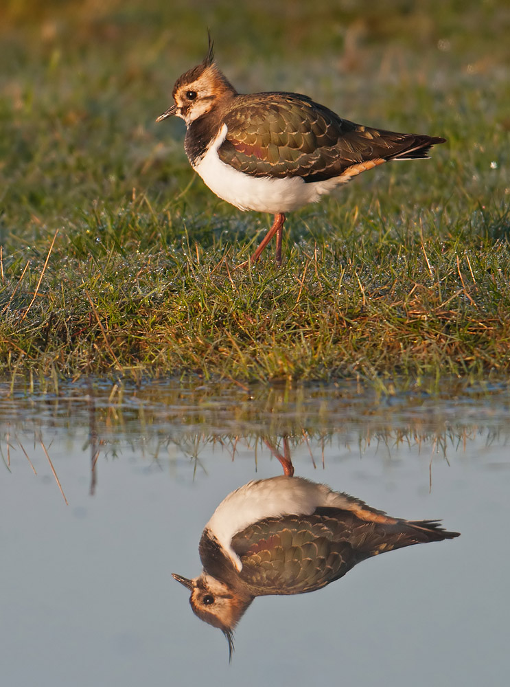 Lapwing reflection, Elmley Marshes
