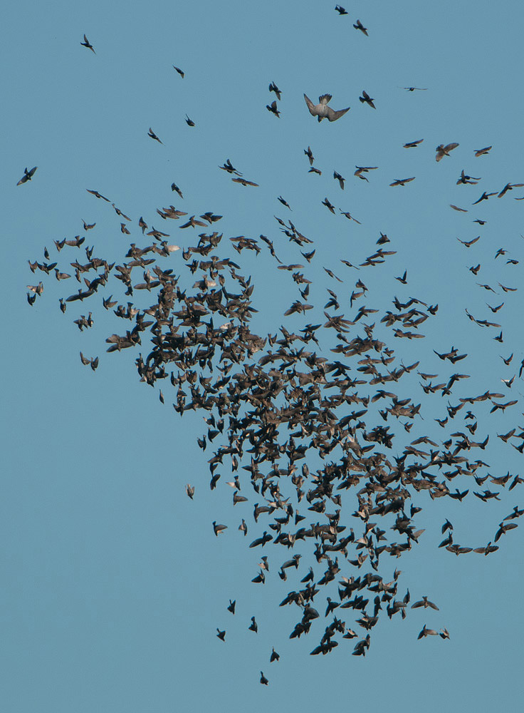 Peregrine among the starlings