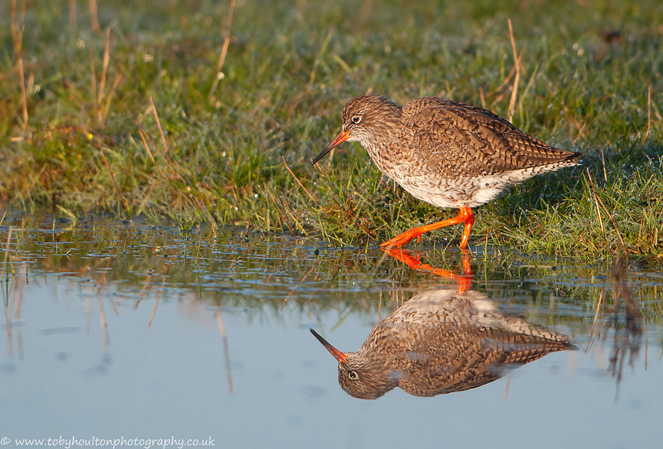 Redshank reflection, Elmley Marshes
