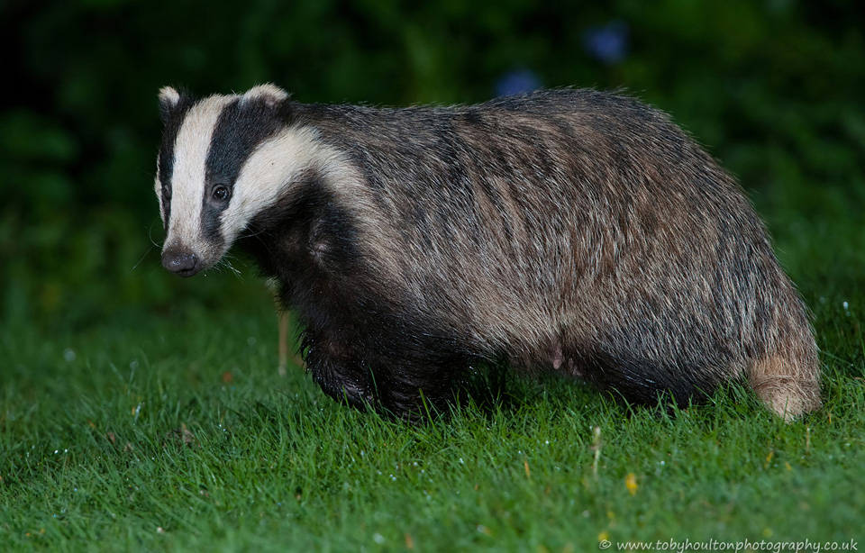 Badger watching the fox cubs