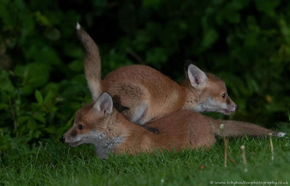 Fox cubs having a bundle