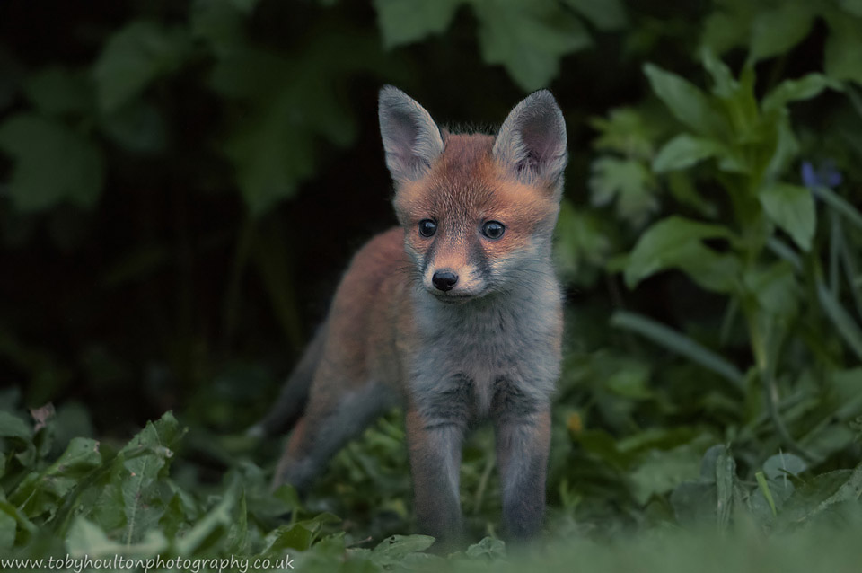 Fox cub in undergrowth