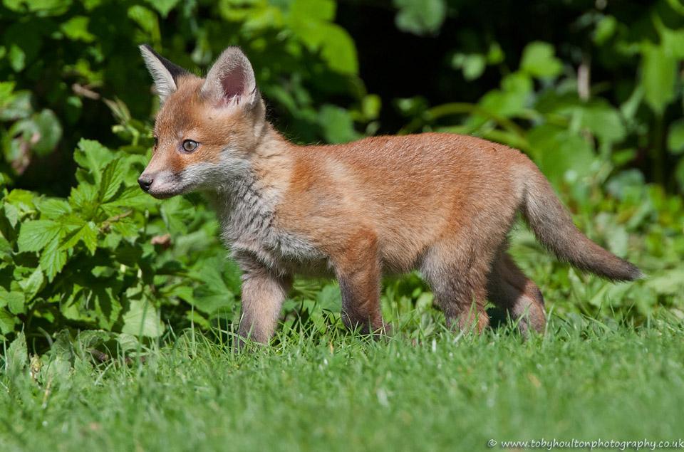 Fox cub in sun