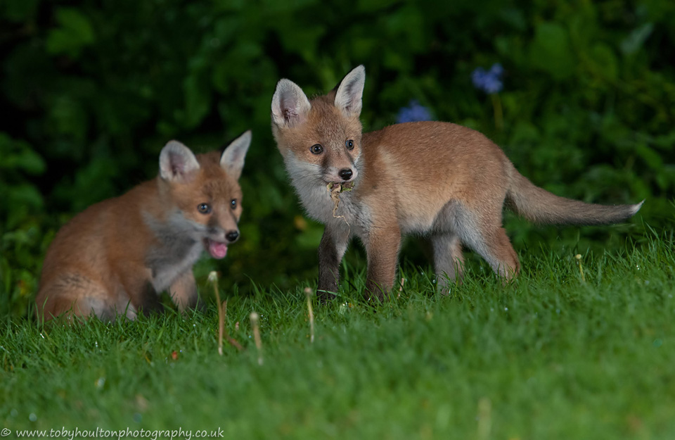 Fox cubs playing with weed from pond