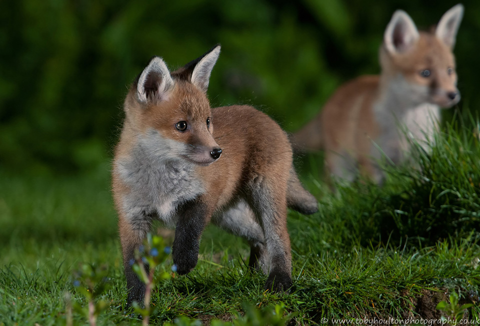 Fox cubs have spotted a badger
