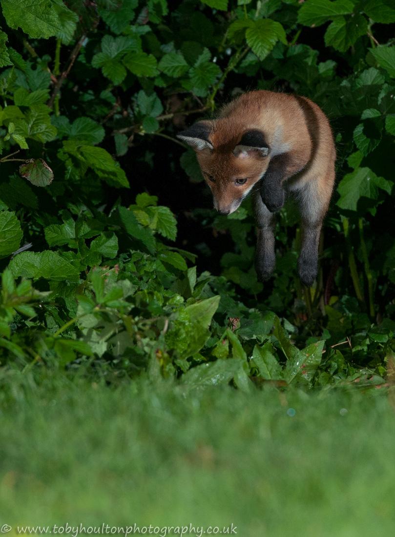 Fox cub play pouncing