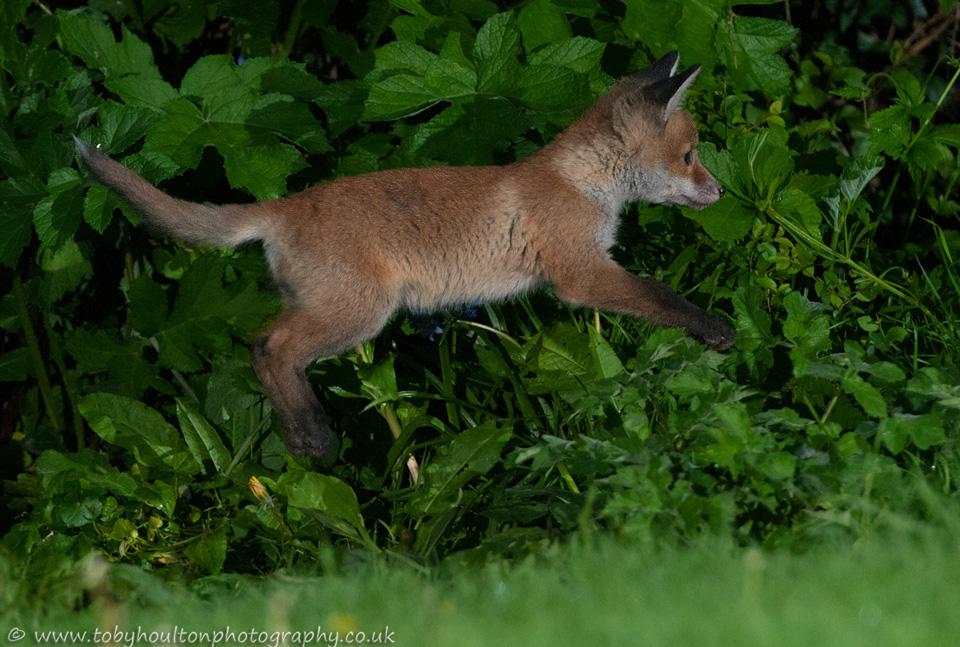 Fox cub jumping