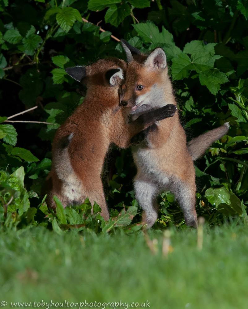 Fox cubs play fighting in garden