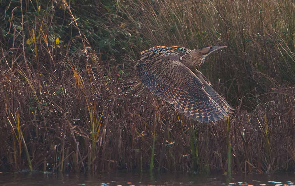 a Bittern erupts takeoff flies  from the reeds