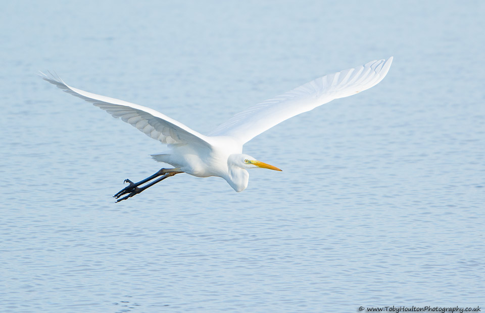 Great White Egret in flight, Dungeness RSPB