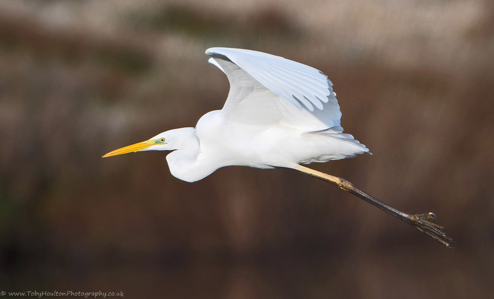 Great White Egret fly past