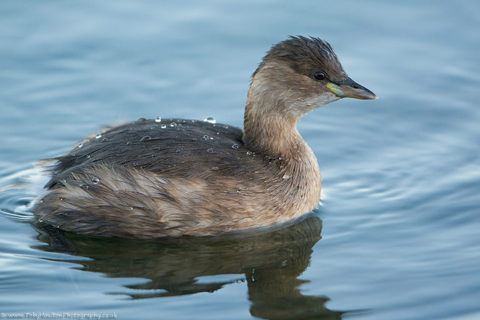 Little Grebe close-up