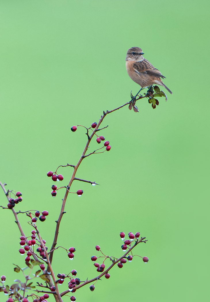 Female Stonechat on Hawthorn