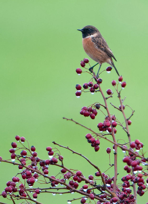 Male Stonechat on Hawthorn