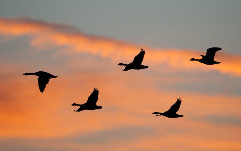 Sunrise Geese