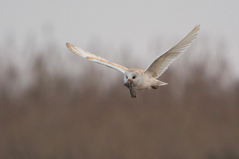 Barn Owl with catch