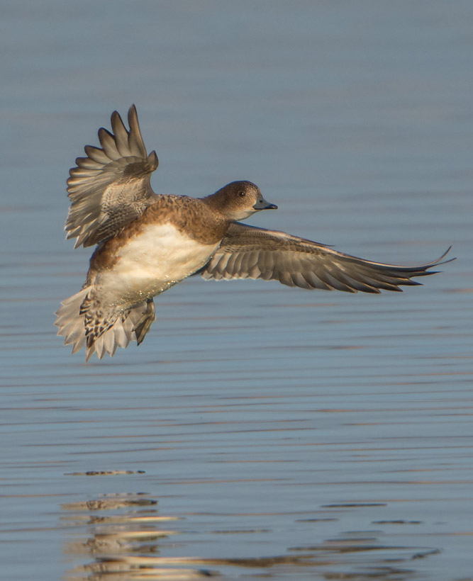 female Widgeon coming in to land