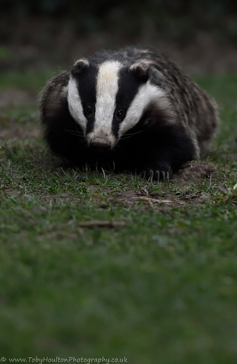 Badger - Nikon D7200, Nikon 70-200mm, 1/100, f/4, ISO1600
