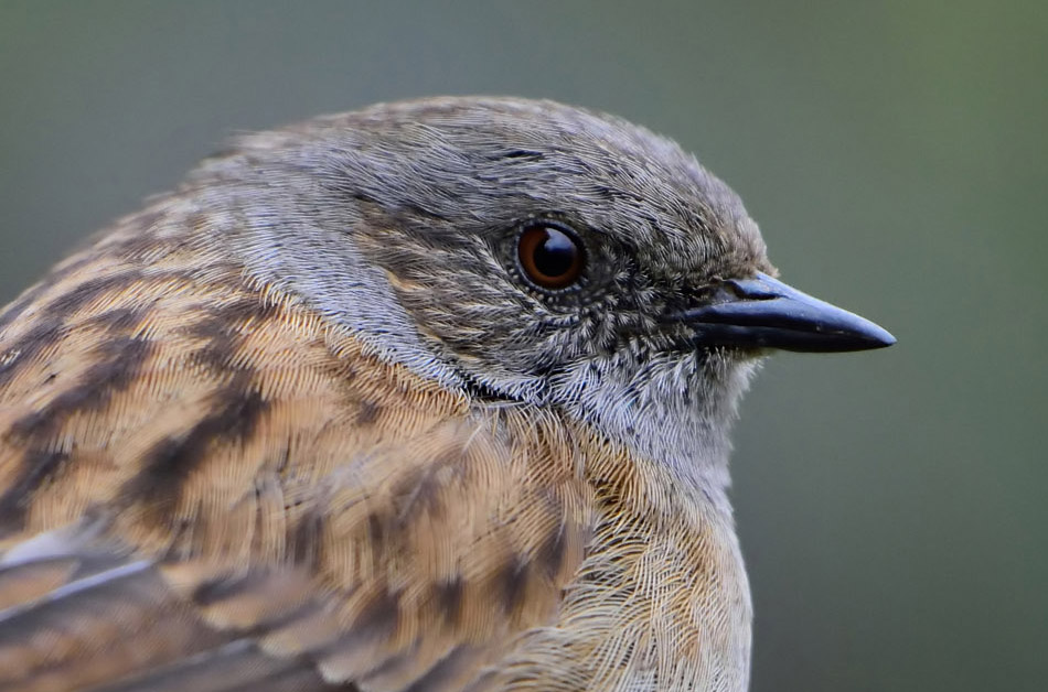 Dunnock at 50% resize crop. Nikon D7200 1/1600, f4.5, ISO 1600. Noise reduction applied (NeatImage in this case)