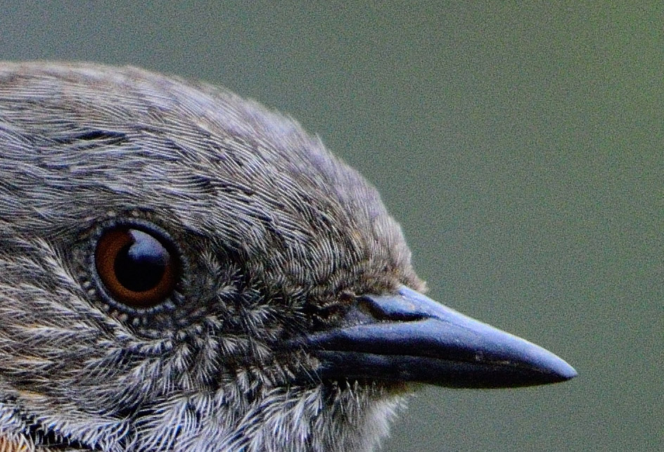 Dunnock closeup (100% crop) without noise reduction - D7200, 1/1600, f4.5, ISO1600