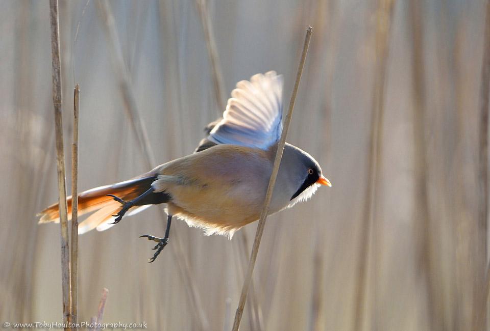 Male Bearded Tit in flight