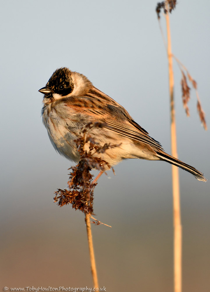 male Reed Bunting at sunrise