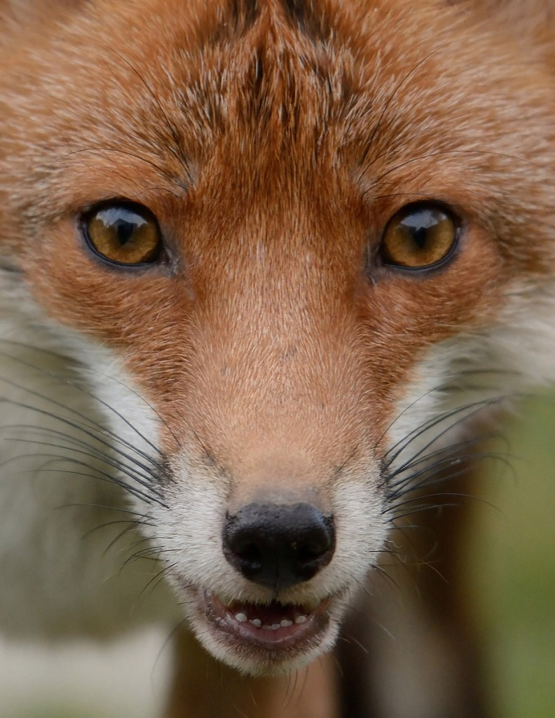 Red Fox portrait closeup
