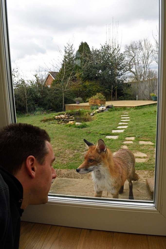 Red Fox vixen watching me through the door