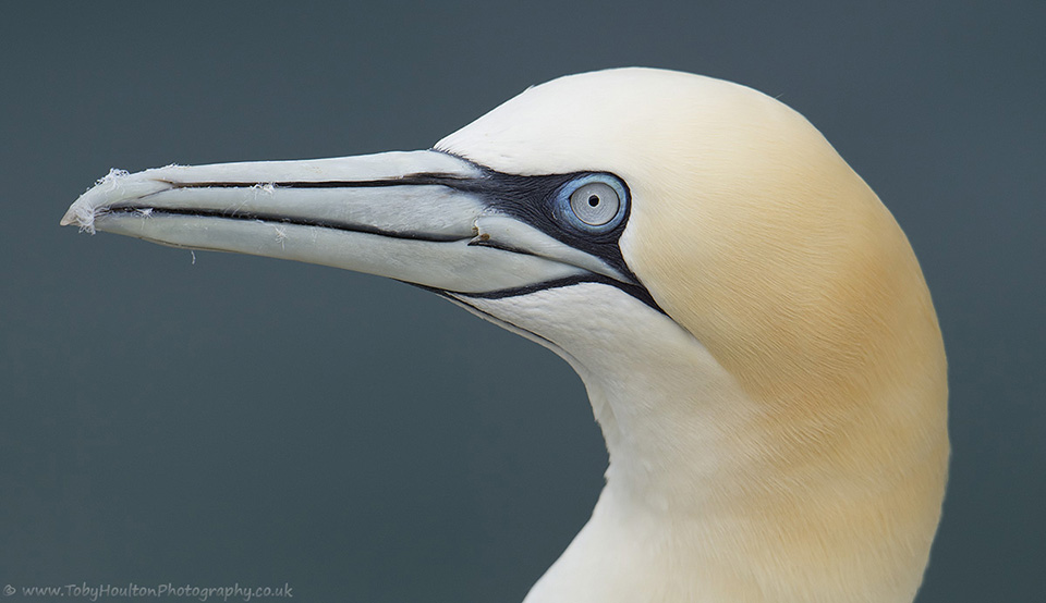 Gannet portrait - Bempton Cliffs