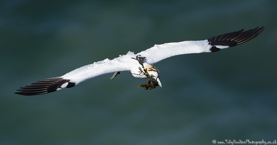 Gannet with seaweed for nesting