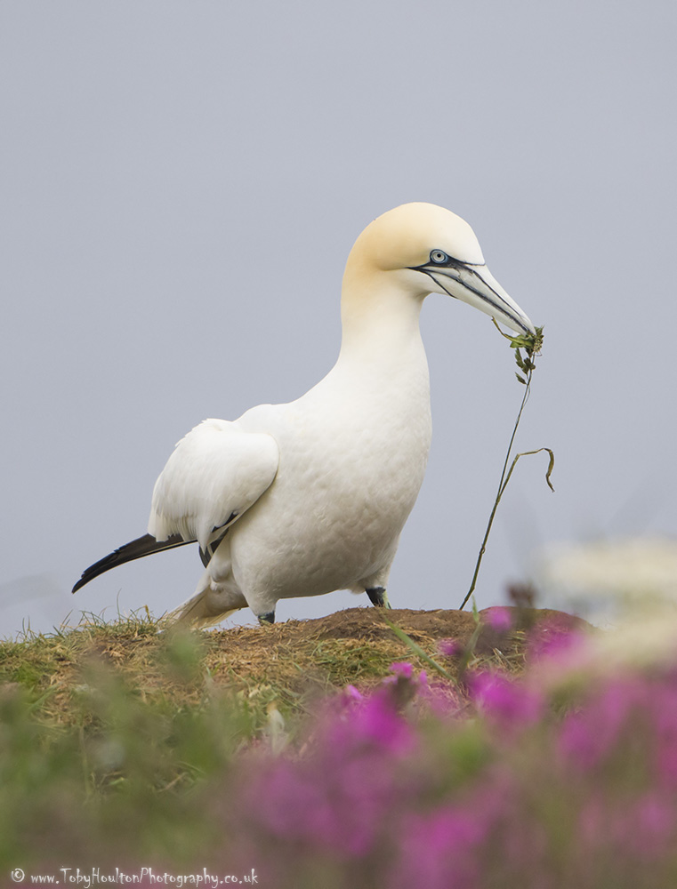 Gannet collecting nesting material at Bempton Cliffs