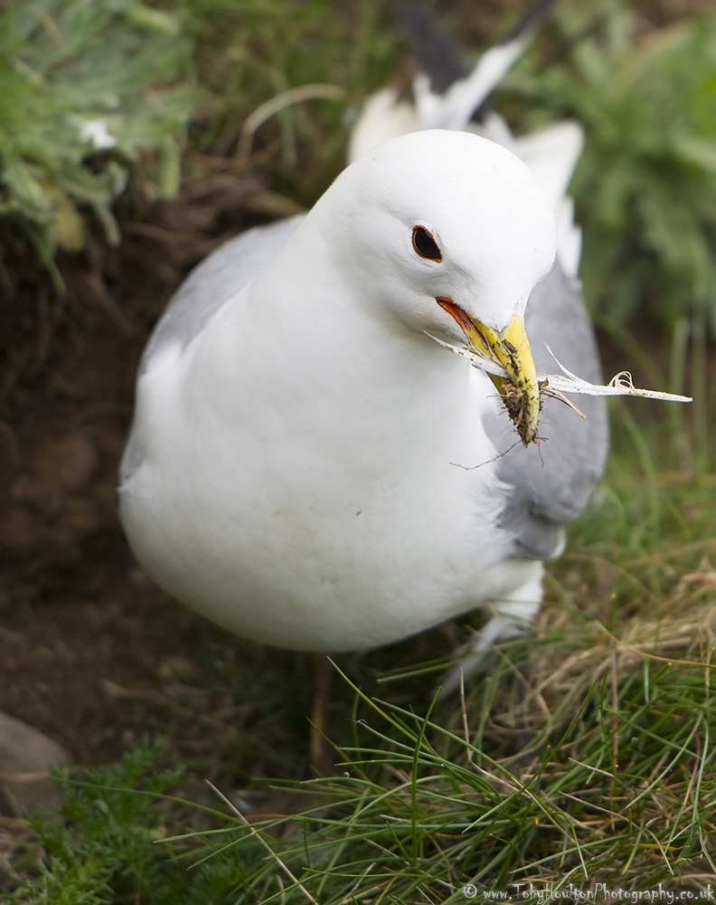 Kittiwake with feather for nesting at Bempton Cliffs