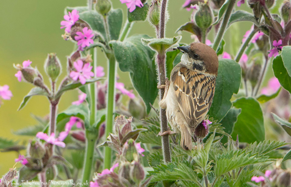 Tree Sparrow in Red Campion