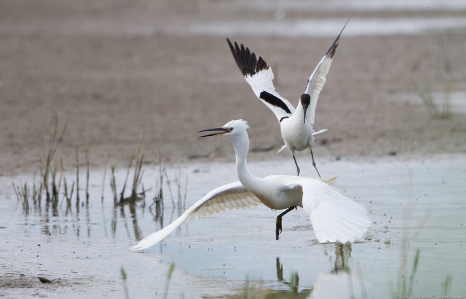 Avocet parent attacking a Little Egret